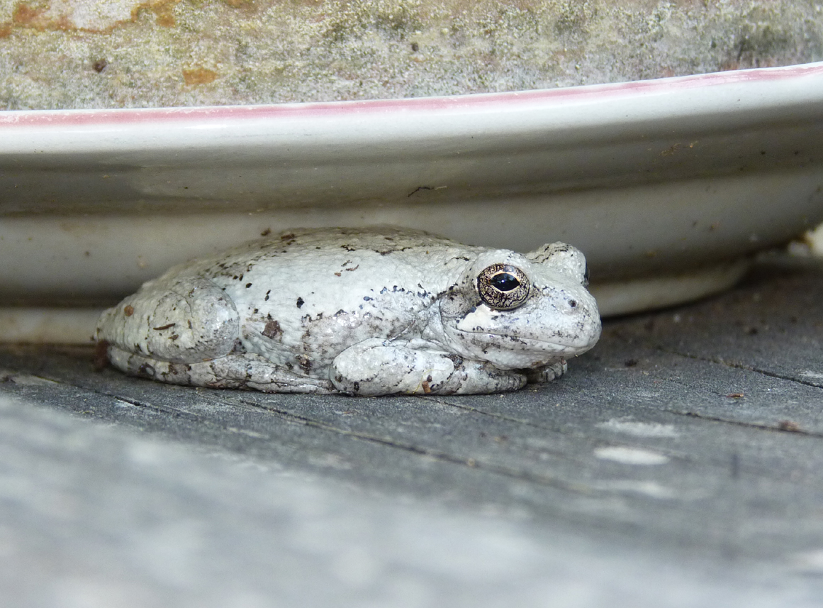"""white frog White's treefrog fits the arboreal litoria category well growing to nearly 4 inches long, these big frogs are also often dubbed """"dumpy treefrogs"""" or."""