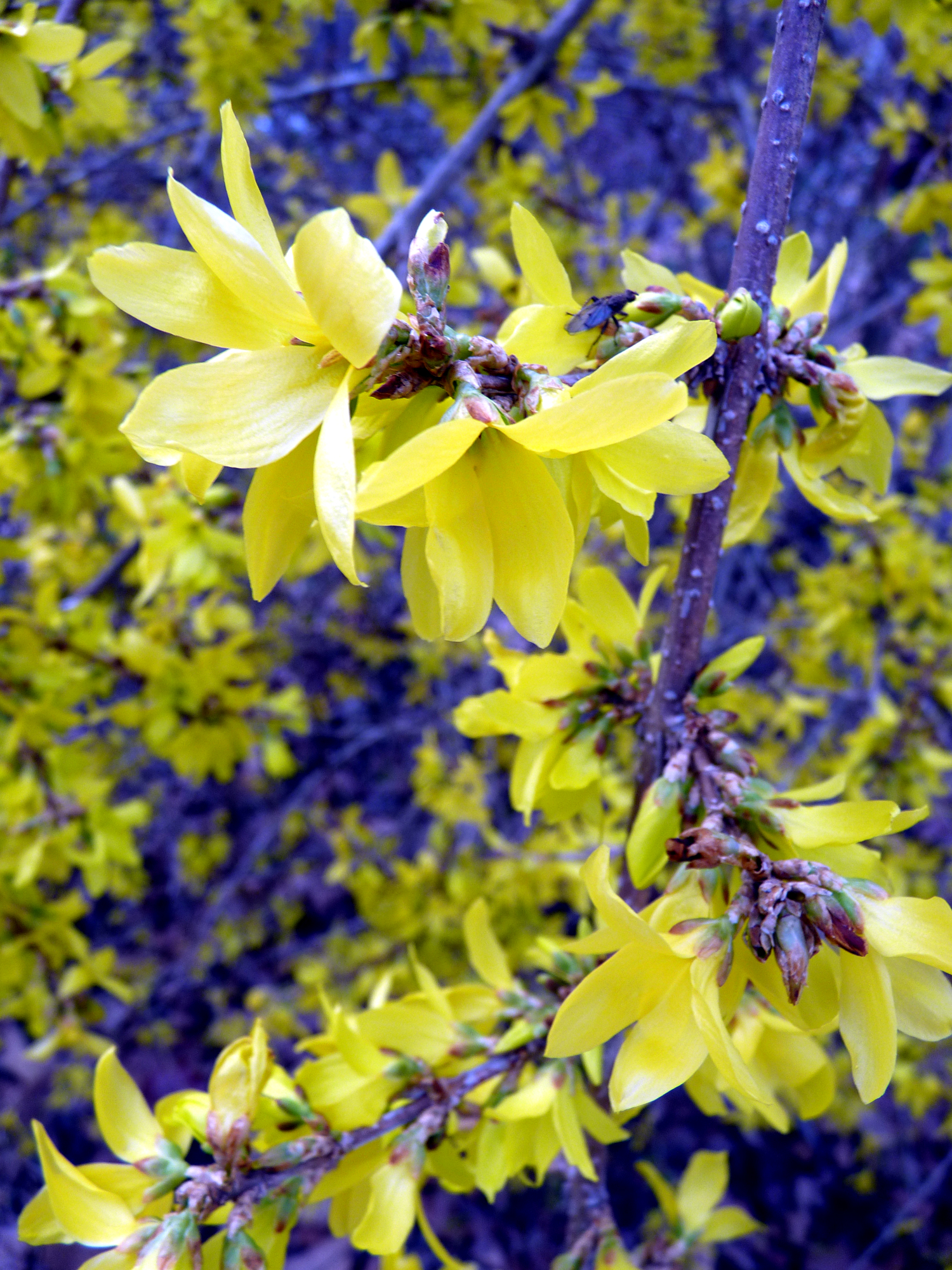 Yellow Bell Flowers Belle Of Dirt