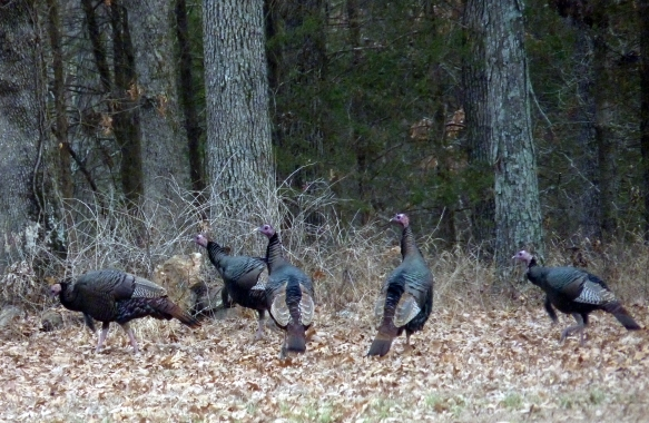 turkeys01